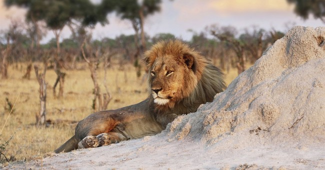 Zimbabwean lion, companion to Cecil, dies of natural causes