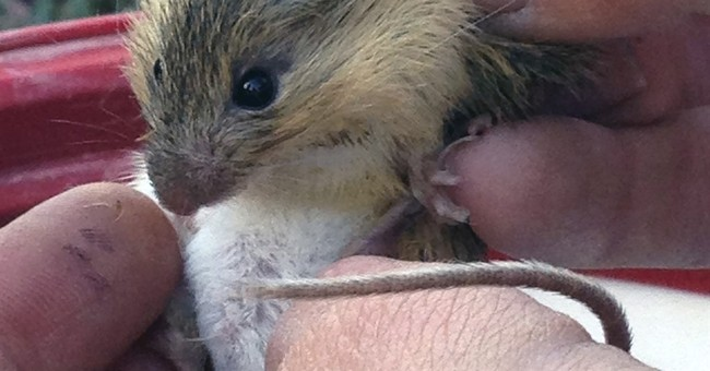 Rare New Mexico meadow jumping mouse populations discovered