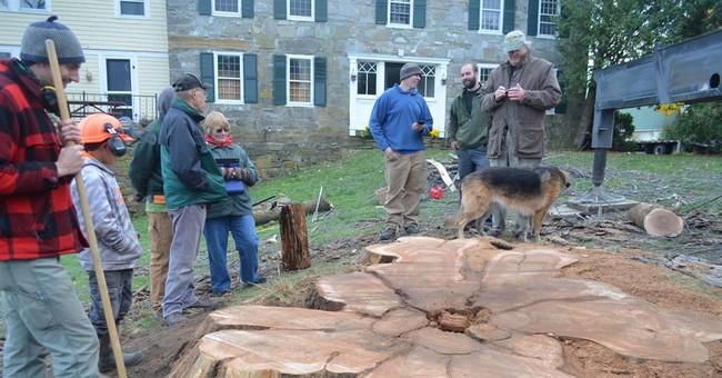 Venerable elm tree finally succumbs to Dutch elm disease
