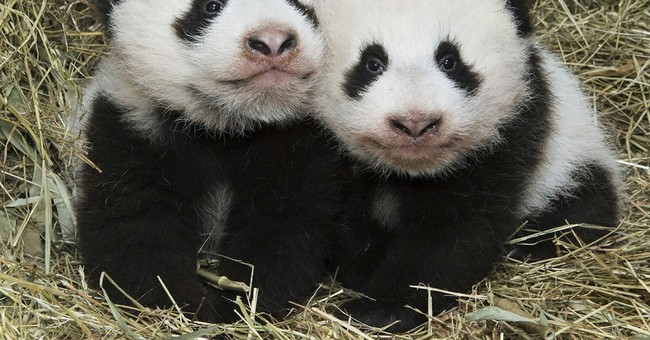 It's official: Names chosen for Vienna zoo's panda cubs