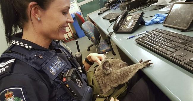 Aussie police search of woman yields a baby koala
