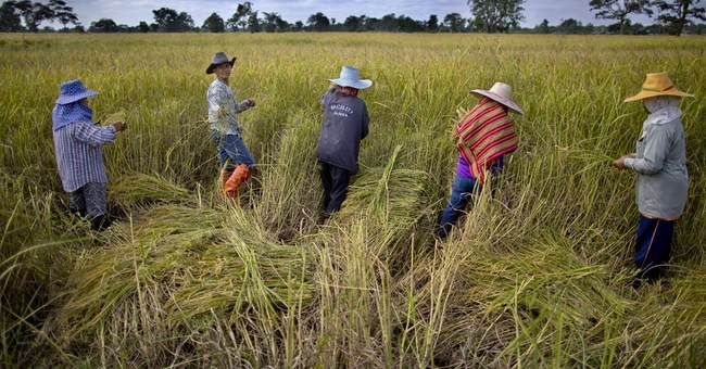 Organic farms help Thailand welcome cranes lost for 50 years