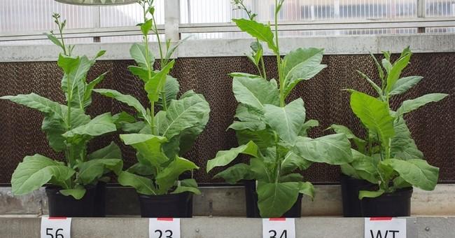 Scientists modify plants, making them use sunlight better