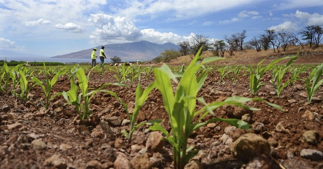 Judge: Hawaii counties can't regulate GMOs and pesticides