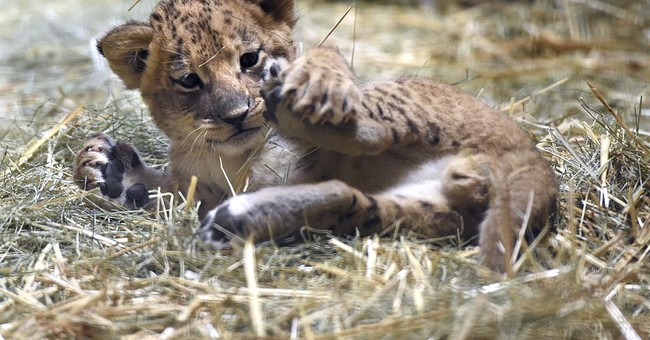 California zoo's lion cub romps, naps and needs a name