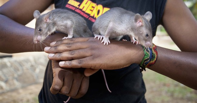Tanzanian rats will train to sniff out trafficked pangolins