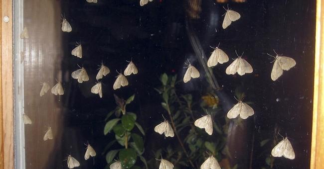 Invasive winter moths making late November appearance