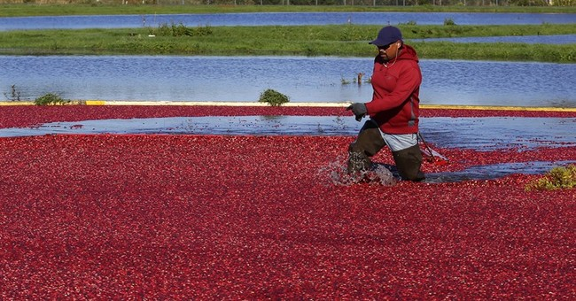 AP PHOTOS: Cranberries bubble from bog to Thanksgiving table