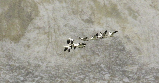 Snow geese deaths from mine pit number in the thousands