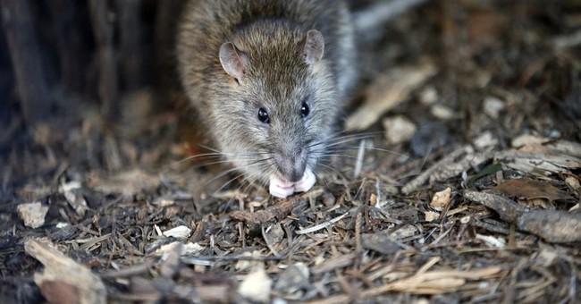 Rats! Paris fights back against rodent infestation