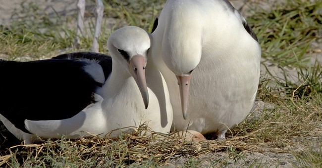 The world's oldest known seabird is expecting _ again