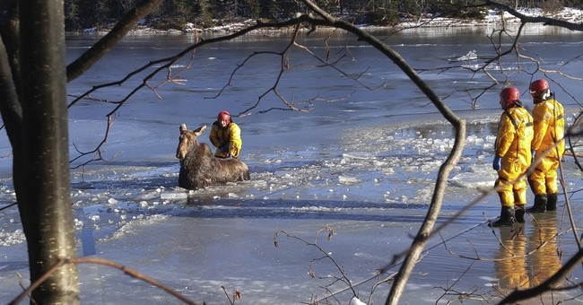 Canadian firefighters rescue moose trapped in ice