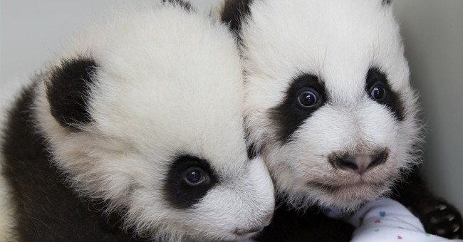 Atlanta zoo has ceremony to reveal names of twin panda cubs