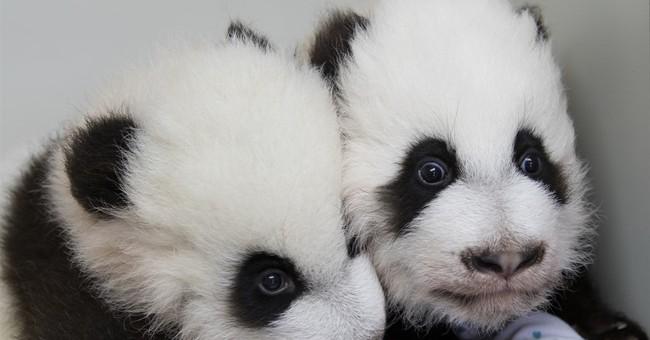 Atlanta zoo has ceremony to reveal names of twin panda cubs