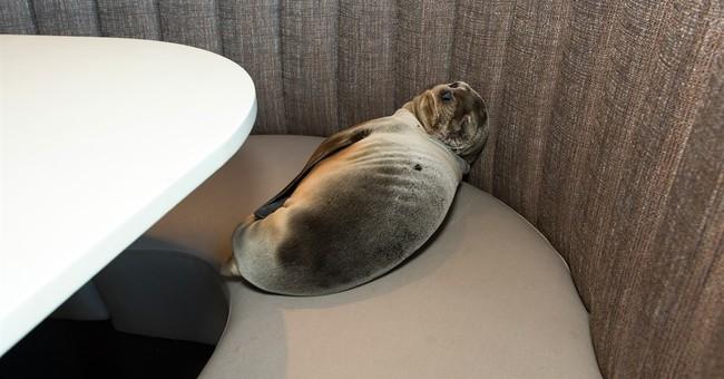 Starving sea lion found in San Diego, California, restaurant