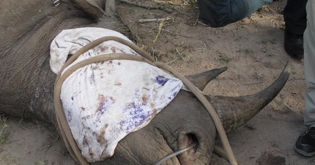South African rangers seek to track rhinos in wildlife park