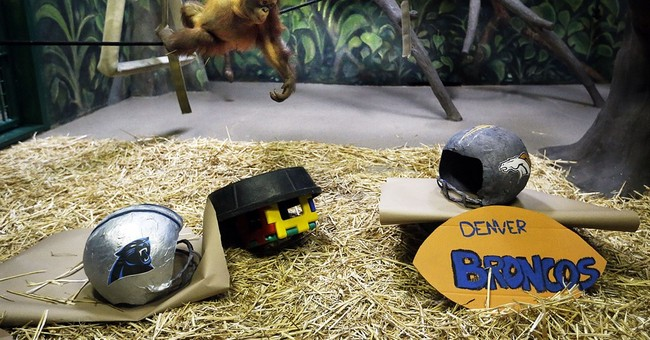 Ape at Utah zoo predicts Panthers to win Super Bowl