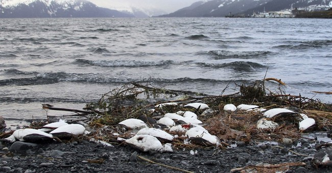 Data gaps hinder explanation for Alaska seabird die-off