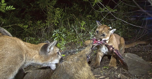 Mountain lion in wildlife study killed on California freeway