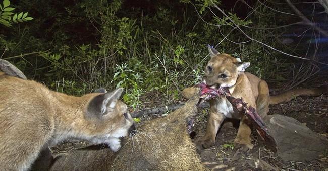 Mountain lion in wildlife study killed on California freeway