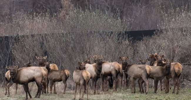 Officials trumpet return of elk to West Virginia