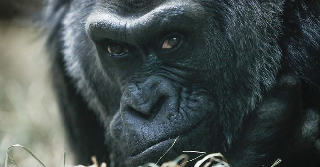 The Latest: Hundreds celebrate oldest gorilla's birthday