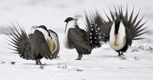 US considers mining limits in West to save sage grouse