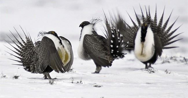 The Latest: Senator, activist clash on ways to save bird