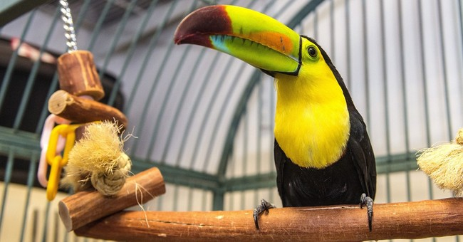 Fugitive toucan captured in Southern California
