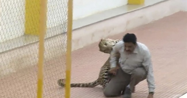 Leopard wanders south Indian school, injures 3 before caught