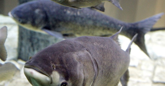 Study: Asian carp could develop huge presence in Lake Erie