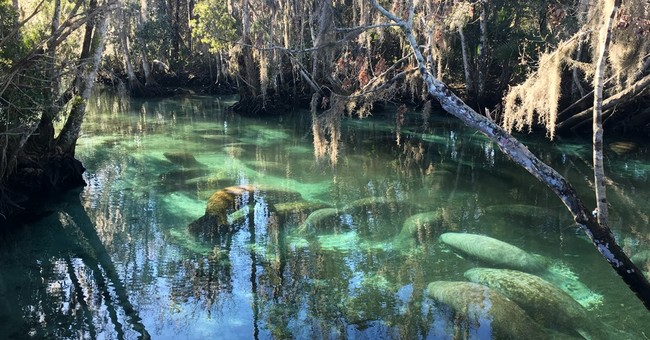 Manatees flock to 72-degree springs to escape cold