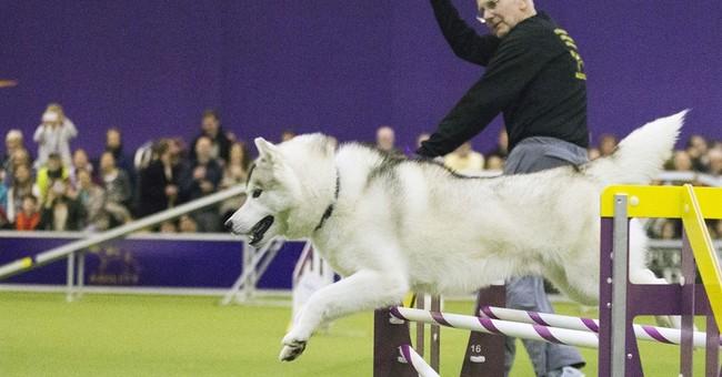 Australian shepherd wins agility at Westminster