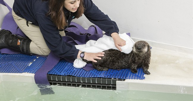 Chicago's Shedd Aquarium takes in stranded sea otter pup