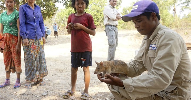 Smart rats sniffing out Cambodia's vast mine fields