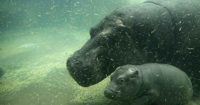 Prague zoo has new attraction _ a baby hippo