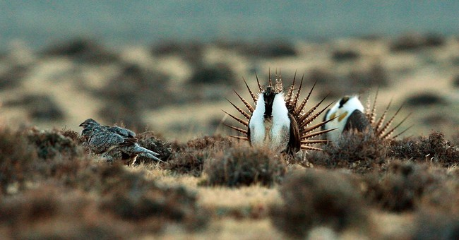 Environmentalists sue for more rules to protect sage grouse