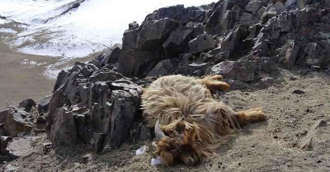 Mongolia's livestock in danger after drought, harsh winter