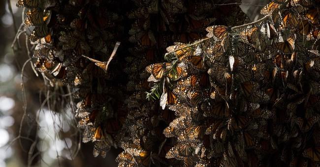 Mexico documents big rebound in monarch butterflies