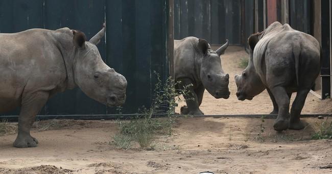 Rhinos flourish in a South African wildlife park