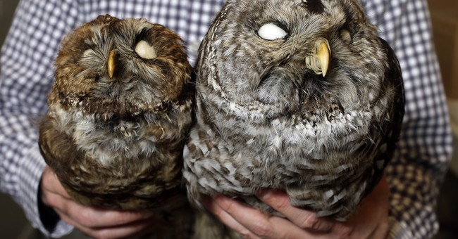 Biologists kill bully owls to protect endangered owls