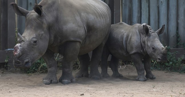 Rhinos flourish in a South African wildlife park
