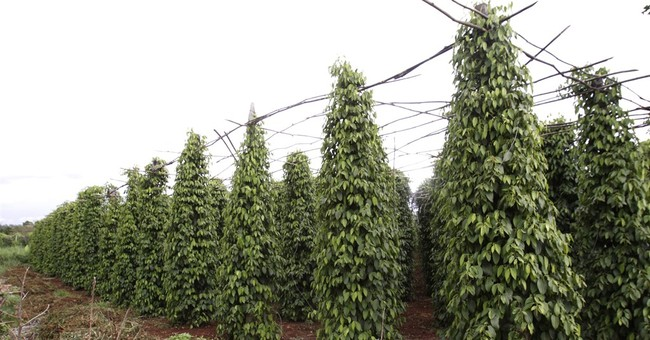 Cambodia's Kampot pepper wins coveted EU protection