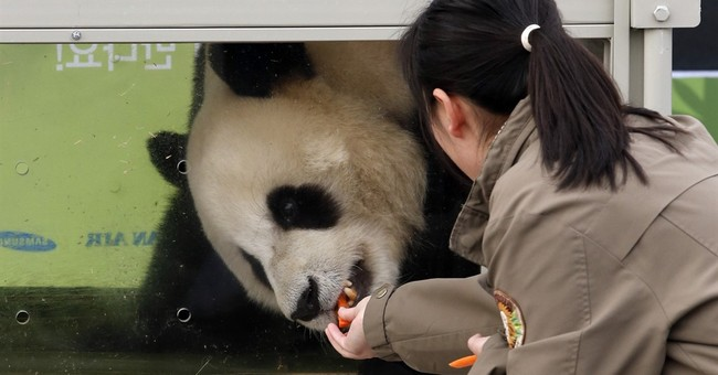 Image of Asia: Feeding time for South Korea's newest panda