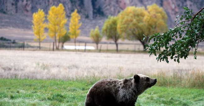 APNewsBreak: US seeks end to Yellowstone grizzly protections