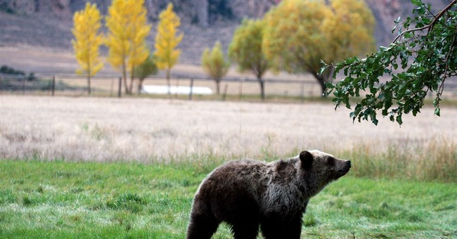 Grizzly hunts loom as US seeks to end protections