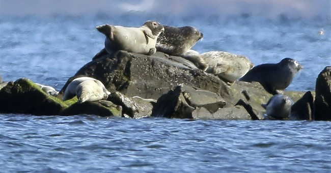 Rhode Island could give harbor seals an honorary title