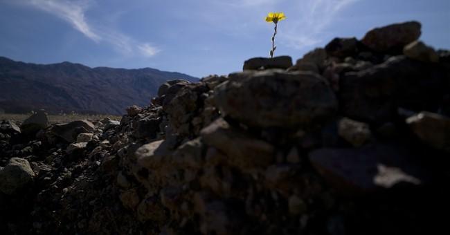 Rare Death Valley 'super bloom' carpets desert with color