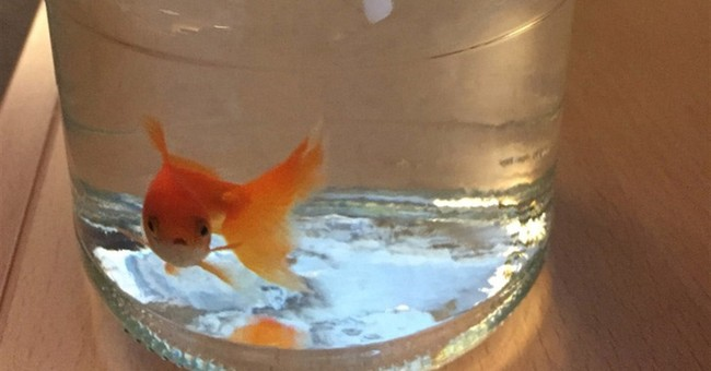 Lost goldfish case in Norway closer to being solved