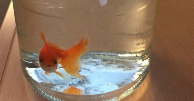 Norwegian police trawl for goldfish owner